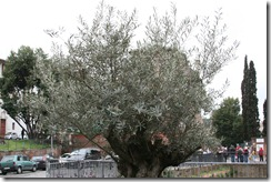 A real live olive tree
